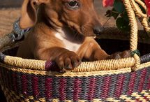 Doxie love / by Liz Chronister