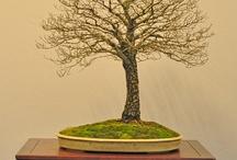 Bonsai leafless