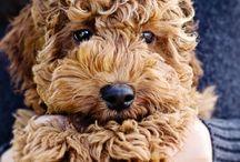 Koiran pennut