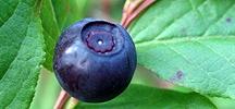 Huckleberry / by Scott Sabrina Cleverley