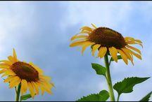 未来を語り合う。 two sunflowers #sunflower #flowers #summer #ひまわり #花 #夏の風景 #青春写真