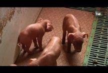 Criaderos de cerdo / Manejo de criaderos de cerdos