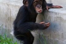 サル  チンパンジー