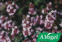 A.Vogel Bronchosan® / Φυτικό αντιβηχικό βάμμα με εκχυλίσματα φρέσκων βοτάνων όπως ο κισσός και το θυμάρι, που αποτελούν παραδοσιακά βότανα φυτοθεραπείας για την αντιμετώπιση του ξηρού, σπασμωδικού βήχα, της βρογχίτιδας και φλεγμονών του αναπνευστικού συστήματος.  http://www.avogel.gr/product-finder/avogel/bronchosan.php