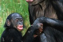 SINGES BONOBOS
