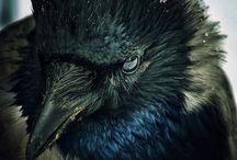 Raven,Crow