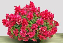 CANDY SHOWERS ~ TRAILING SNAPDRAGONS / 'Candy Showers' is a new series of trailing Snapdragon, and is available in 5 bright colors--Deep Purple, Orange, Red, Rose or Yellow. It is a great choice for hanging baskets or containers in the spring or fall. It will also spread in landscape beds, giving quick and colorful coverage. Combine it with flowering cabbage or pansies for a unique container mix.