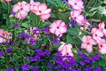 Annuals combinations