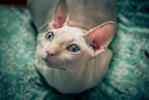 for the love of Sphynx / So first we met her -- little creature - huge blue eyes, pink velvety skin and amazing personality full of love. Instantly we were inlove and crazy about her and about sphynx breed in general.  Now I have two.. and am crazy about them So, this board dedicated to SPHYNX cats :)