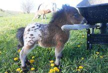 Appalousa / Voici des chevaux Appaloussa l'une des plus belle race de chevaux du monde.