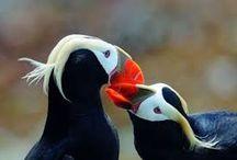puffin birds