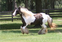 Crown Darby / Our very own, Gypsy Gold Crown Darby, one of the prettiest Gypsy Vanner Mares I've ever seen.  Born in, 1995, and imported in 1997, one of the original 16 gypsy vanner horses to step foot in America.  Her father is, The Gypsy King, and her mother is a mare named Lettie, who is in the UK.