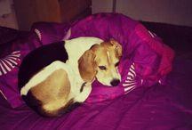 Beagle Bingo