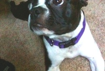 I love me some bostons :) / i have a boston & she is the best dog ever! definetly my favorite dog breed! / by Audra Romey