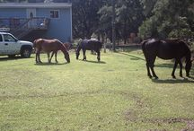 Outer Banks Corolla Wild Horses / Images of the Corolla Wild Horses / by Elan Vacations