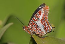 Big Fan of Butterfly