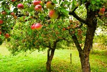 Fruiting trees / Trees laden with juicy fruit, the ornament of any garden, big or small!