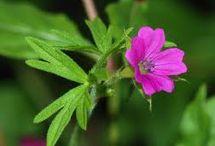 plants repel mosquito's