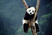 panda bw and red / by Akel Helen
