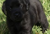 Labrador puppies NSW Australia / adorable pedigree Labrador Retriever puppies bred in NSW Australia by registered and experienced Labrador breeder