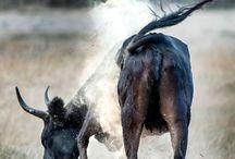 La manade / Présentation de l'Elevage de Biar. #pension #elevage #chevaux #camargue