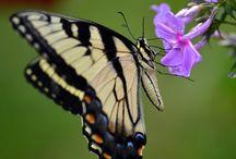 Butterfly Buzz