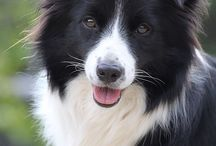 Border collie forever