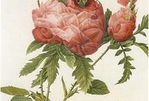 Flowers/Roses