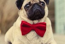 Pugss / All things pugs!