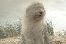 Bob tail mi perro / Para mí el mejor perro del mundo
