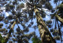 Árvores & Espécies lenhosas / Fotos e informações sobre árvores, arvoretas, arbustos e espécies lenhosas.