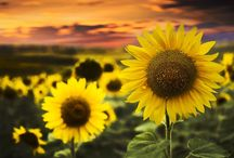 Sunflower in photos / flowers