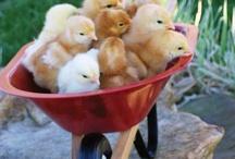 Crazed Chicken Adventures / by Kelly Willig