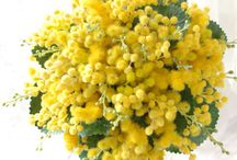*Mimosa in a bouquet*