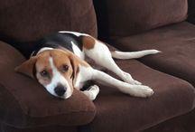 Beagle um Amor de 4 patas
