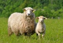 owce / hobby