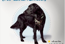 Flat coated retriever / Dogs retrievers golden labrador agility