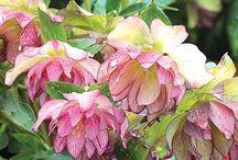 smukke blomster til haven