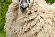 Овцеводсво