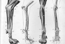 Animal anatomy and reference