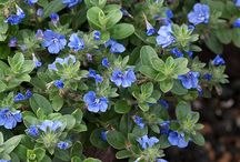 Plants for frost / A selection of plants from our online nursery best suited to frost prone ares.