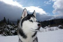 Husky Siberian / Mi favorite dog...
