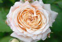 My favorite Roses