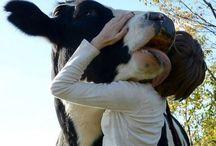 cow <3