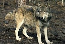 Steppe Wolf (Canis Lupus Campestris) / News, information, status and research about the Steppe Wolf. Subspecies of Gray Wolf.
