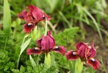 I Love Bearded Irises!