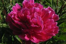 Peonies with red autumn/fall foliage / Peonies that have good red autumn colour before they die back