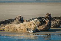 Grijze zeehonden / Informatie en prachtige afbeeldingen van de Grijze zeehond (Halichoerus grypus).