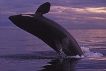 Orca Love