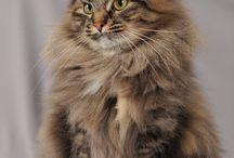 Sibirske katter